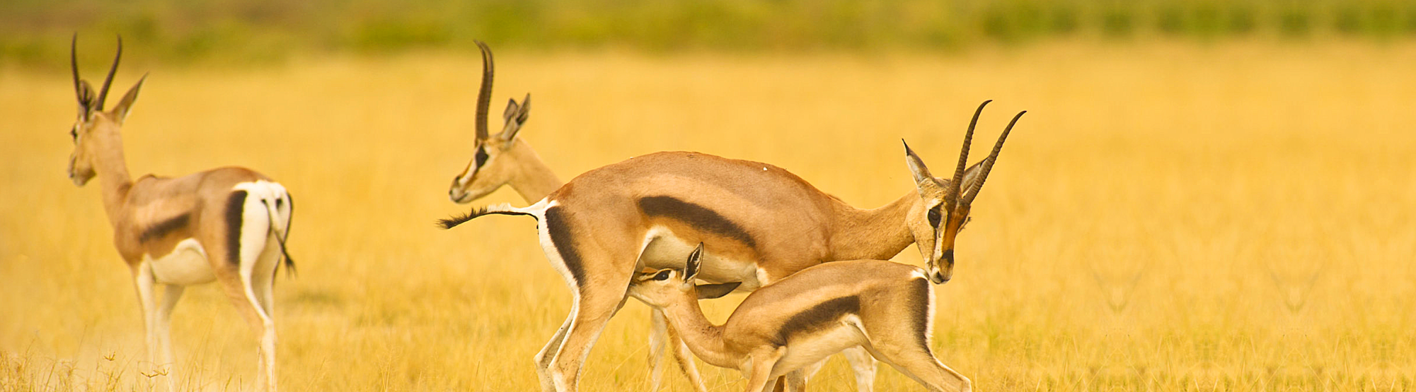 wild antilope