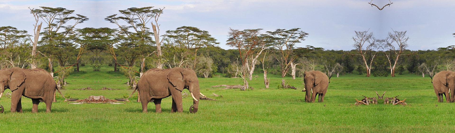 elephant in the safari
